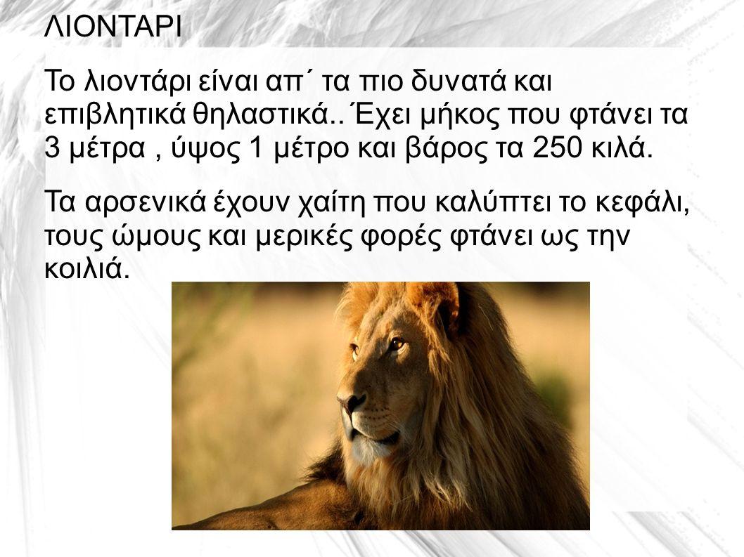 ΛΙΟΝΤΑΡΙ Το λιοντάρι είναι απ΄ τα πιο δυνατά και επιβλητικά θηλαστικά..