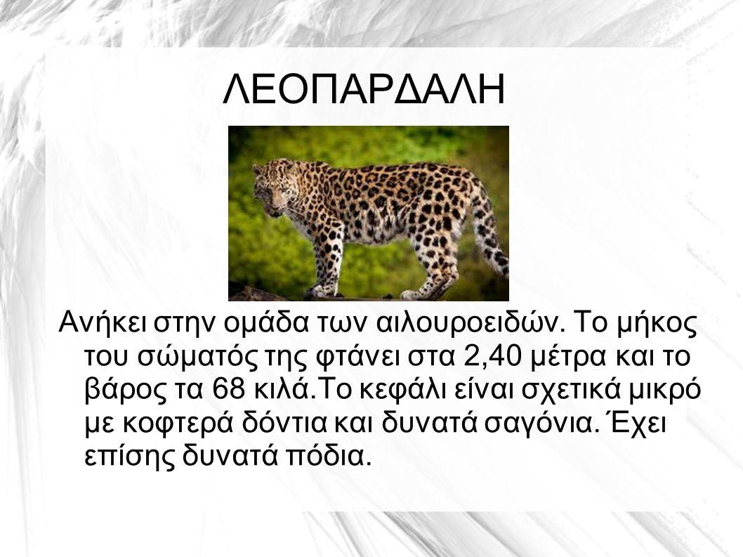 Η λεοπάρδαλη τρέχει γρήγορα και κάνει άλματα που φτάνουν τα 6 μέτρα.