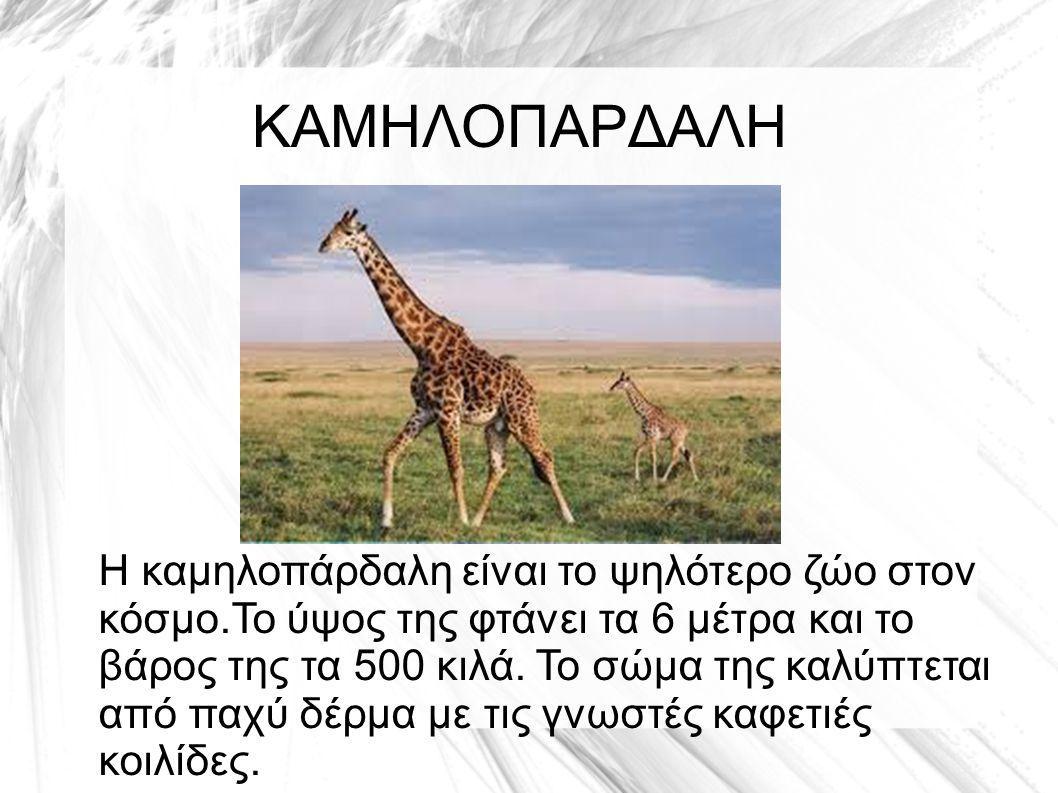 ΚΑΜΗΛΟΠΑΡΔΑΛΗ Η καμηλοπάρδαλη είναι το ψηλότερο ζώο στον κόσμο.Το ύψος της φτάνει τα 6 μέτρα και το βάρος της τα 500 κιλά.