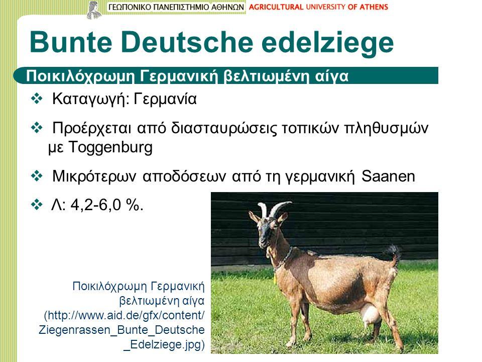Bunte Deutsche edelziege  Καταγωγή: Γερμανία  Προέρχεται από διασταυρώσεις τοπικών πληθυσμών με Τoggenburg  Μικρότερων αποδόσεων από τη γερμανική Saanen  Λ: 4,2-6,0 %.