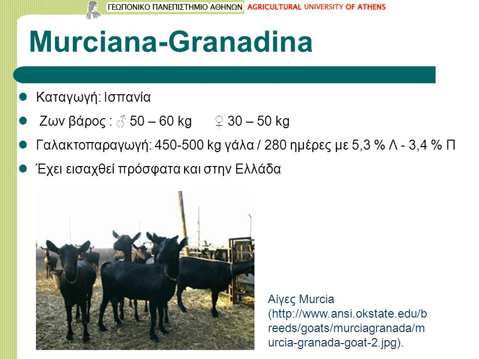 Murciana-Granadina Καταγωγή: Ισπανία Ζων βάρος : ♂ 50 – 60 kg ♀ 30 – 50 kg Γαλακτοπαραγωγή: 450-500 kg γάλα / 280 ημέρες με 5,3 % Λ - 3,4 % Π Έχει εισαχθεί πρόσφατα και στην Ελλάδα Αίγες Murcia (http://www.ansi.okstate.edu/b reeds/goats/murciagranada/m urcia-granada-goat-2.jpg).