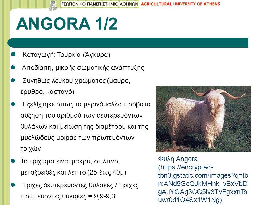 ANGORA 1/2 Καταγωγή: Τουρκία (Άγκυρα) Λιτοδίαιτη, μικρής σωματικής ανάπτυξης Συνήθως λευκού χρώματος (μαύρο, ερυθρό, καστανό) Εξελίχτηκε όπως τα μερινόμαλλα πρόβατα: αύξηση του αριθμού των δευτερευόντων θυλάκων και μείωση της διαμέτρου και της μυελώδους μοίρας των πρωτευόντων τριχών Το τρίχωμα είναι μακρύ, στιλπνό, μεταξοειδές και λεπτό (25 έως 40μ) Τρίχες δευτερεύοντες θύλακες / Τρίχες πρωτεύοντες θύλακες = 9,9-9,3 Φυλή Angora (https://encrypted- tbn3.gstatic.com/images q=tb n:ANd9GcQJkMHnk_vBxVbD gAuYGAg3CG5iv3TvFgxxnTs uwr0d1Q4Sx1W1Ng).