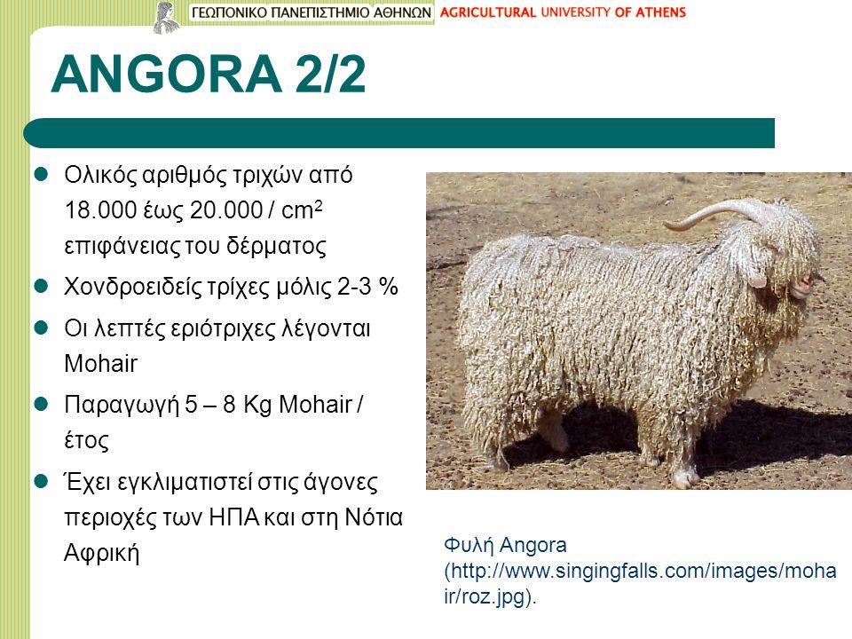 ANGORA 2/2 Ολικός αριθμός τριχών από 18.000 έως 20.000 / cm 2 επιφάνειας του δέρματος Χονδροειδείς τρίχες μόλις 2-3 % Οι λεπτές εριότριχες λέγονται Mohair Παραγωγή 5 – 8 Kg Mohair / έτος Έχει εγκλιματιστεί στις άγονες περιοχές των ΗΠΑ και στη Νότια Αφρική Φυλή Angora (http://www.singingfalls.com/images/moha ir/roz.jpg).