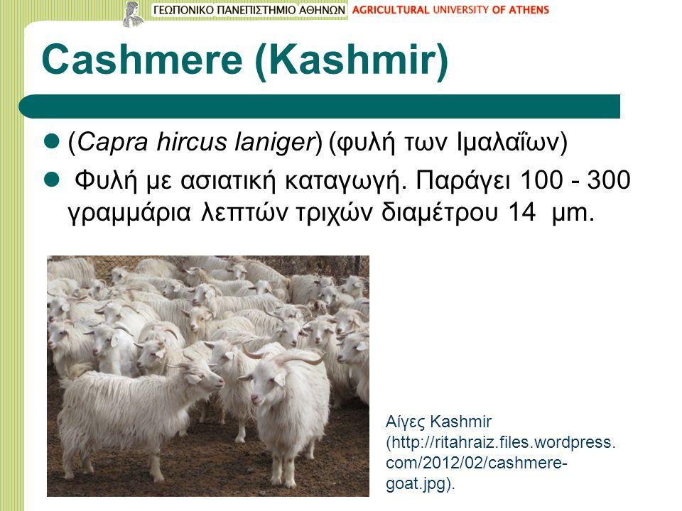 Cashmere (Kashmir) (Capra hircus laniger) (φυλή των Ιμαλαΐων) Φυλή με ασιατική καταγωγή.