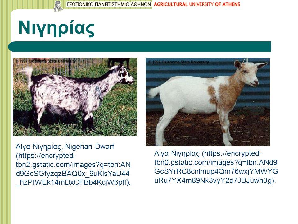Νιγηρίας Aίγα Νιγηρίας, Nigerian Dwarf (https://encrypted- tbn2.gstatic.com/images?q=tbn:AN d9GcSGfyzqzBAQ0x_9uKlsYaU44 _hzPIWEk14mDxCFBb4KcjW6ptl ).