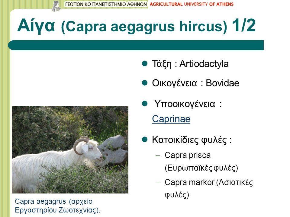 Αίγα (Capra aegagrus hircus) 1/2 Τάξη : Artiodactyla Οικογένεια : Bovidae Υποοικογένεια : Caprinae Caprinae Κατοικίδιες φυλές : –Capra prisca (Ευρωπαϊκές φυλές) –Capra markor (Ασιατικές φυλές) Capra aegagrus (αρχείο Εργαστηρίου Ζωοτεχνίας).