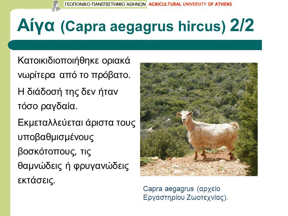 Αίγα (Capra aegagrus hircus) 2/2 Κατοικιδιοποιήθηκε οριακά νωρίτερα από το πρόβατο.