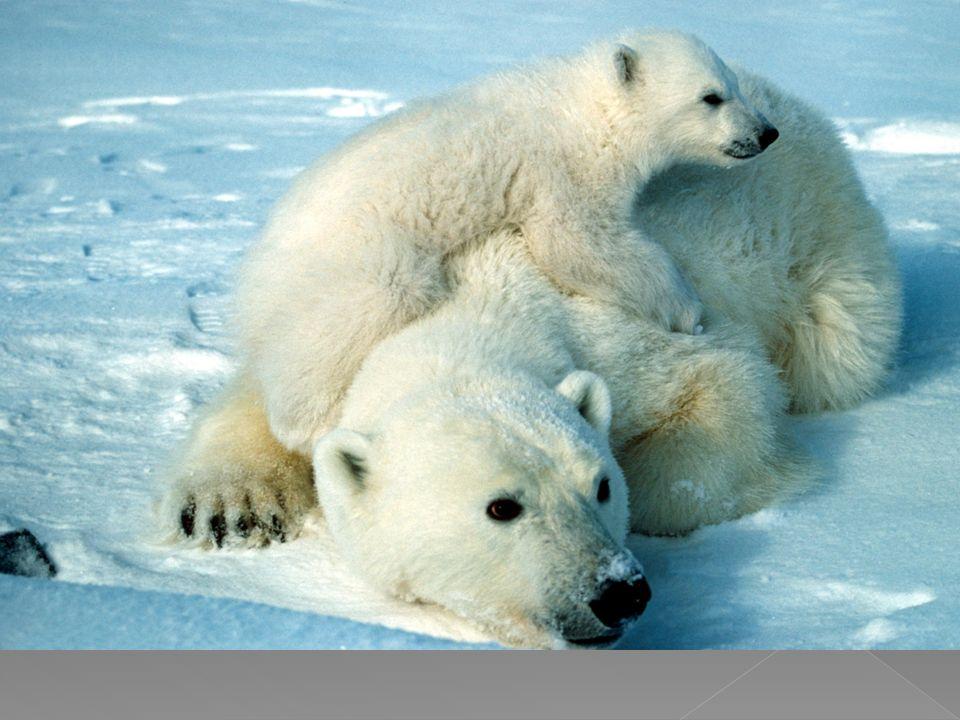 Η αρκούδα είναι ζώο παμφάγο με προτίμηση στις τροφές φυτικής προέλευσης και έχει ανάγκη από μεγάλες ποσότητες τροφής.