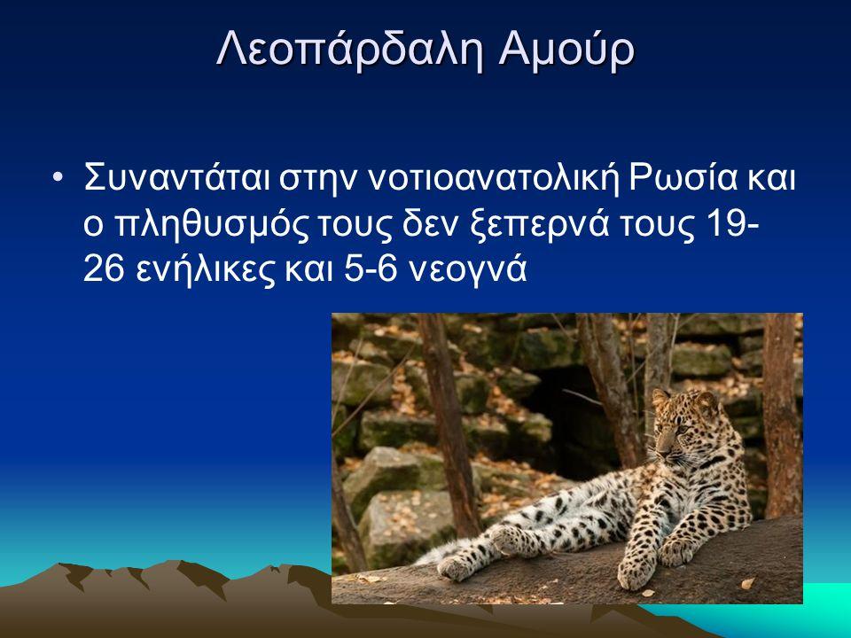Λεοπάρδαλη Αμούρ Συναντάται στην νοτιοανατολική Ρωσία και ο πληθυσμός τους δεν ξεπερνά τους 19- 26 ενήλικες και 5-6 νεογνά