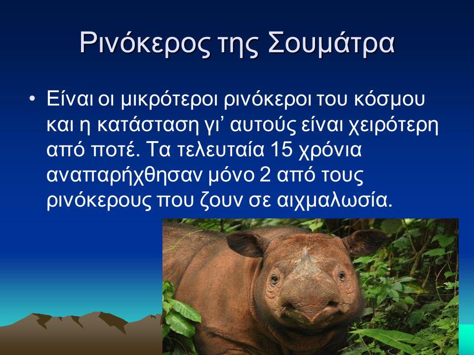 Ρινόκερος της Σουμάτρα Είναι οι μικρότεροι ρινόκεροι του κόσμου και η κατάσταση γι' αυτούς είναι χειρότερη από ποτέ.