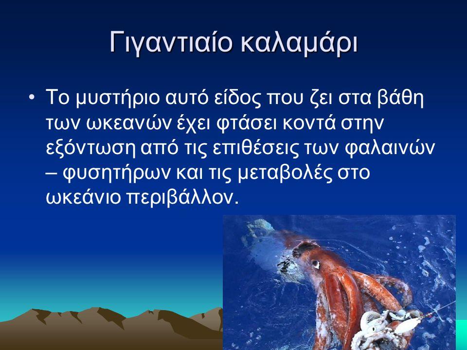Γιγαντιαίο καλαμάρι Το μυστήριο αυτό είδος που ζει στα βάθη των ωκεανών έχει φτάσει κοντά στην εξόντωση από τις επιθέσεις των φαλαινών – φυσητήρων και τις μεταβολές στο ωκεάνιο περιβάλλον.