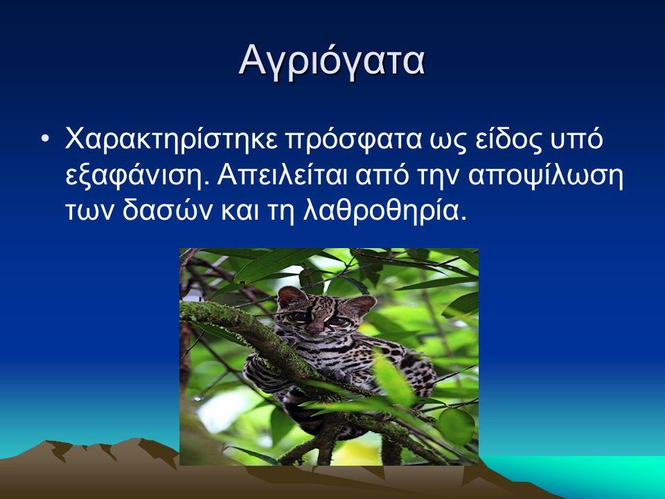 Αγριόγατα Χαρακτηρίστηκε πρόσφατα ως είδος υπό εξαφάνιση.