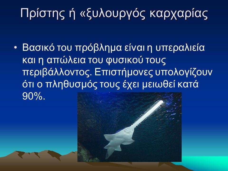 Πρίστης ή «ξυλουργός καρχαρίας Βασικό του πρόβλημα είναι η υπεραλιεία και η απώλεια του φυσικού τους περιβάλλοντος.