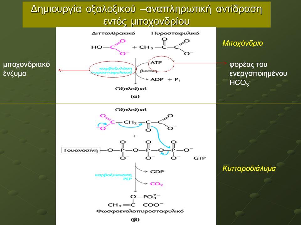 Δημιουργία οξαλοξικού –αναπληρωτική αντίδραση εντός μιτοχονδρίου μιτοχονδριακό ένζυμο φορέας του ενεργοποιημένου HCO 3 - Μιτοχόνδριο Κυτταροδιάλυμα
