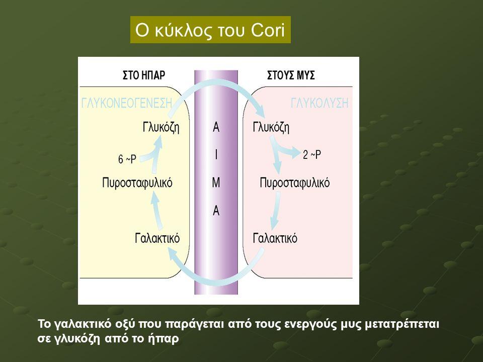 Το γαλακτικό οξύ που παράγεται από τους ενεργούς μυς μετατρέπεται σε γλυκόζη από το ήπαρ Ο κύκλος του Cori