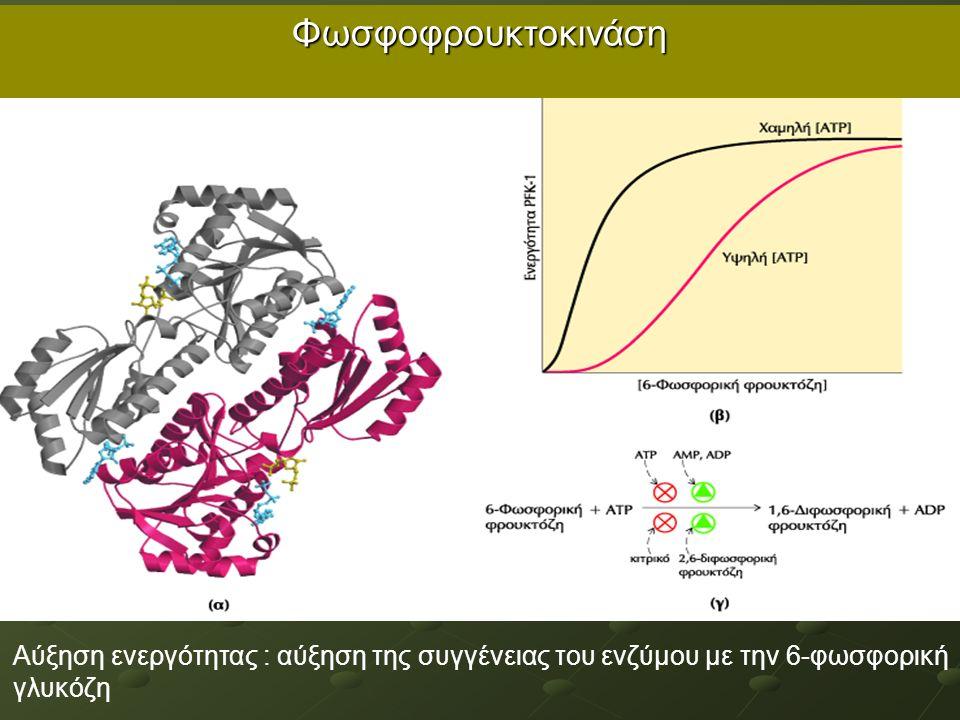 Φωσφοφρουκτοκινάση Αύξηση ενεργότητας : αύξηση της συγγένειας του ενζύμου με την 6-φωσφορική γλυκόζη