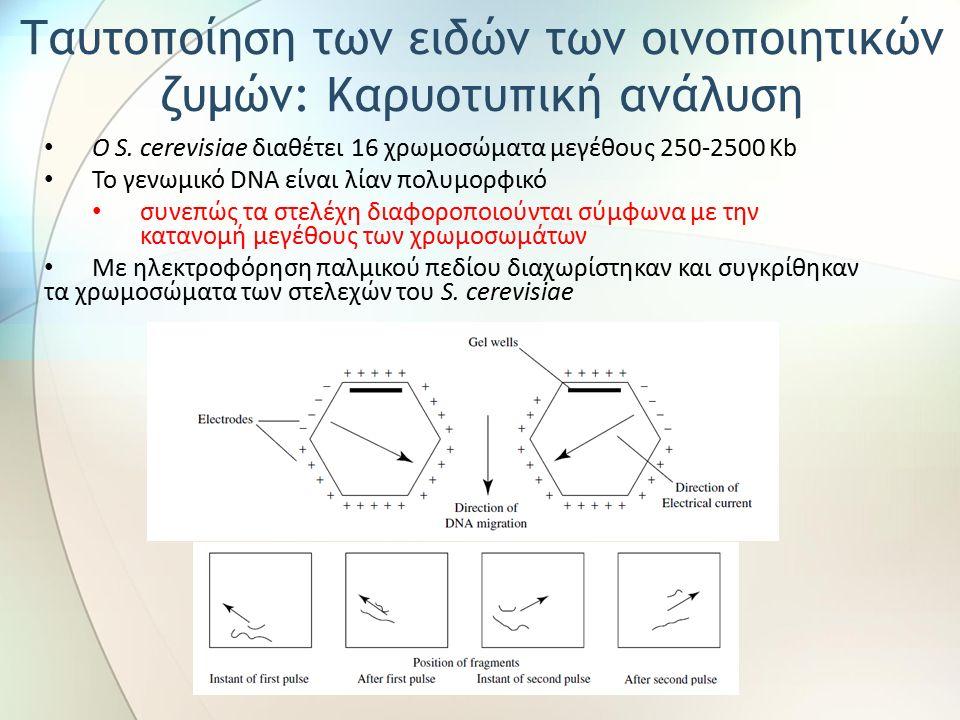 Ο S. cerevisiae διαθέτει 16 χρωμοσώματα μεγέθους 250-2500 Kb Το γενωμικό DNA είναι λίαν πολυμορφικό συνεπώς τα στελέχη διαφοροποιούνται σύμφωνα με την