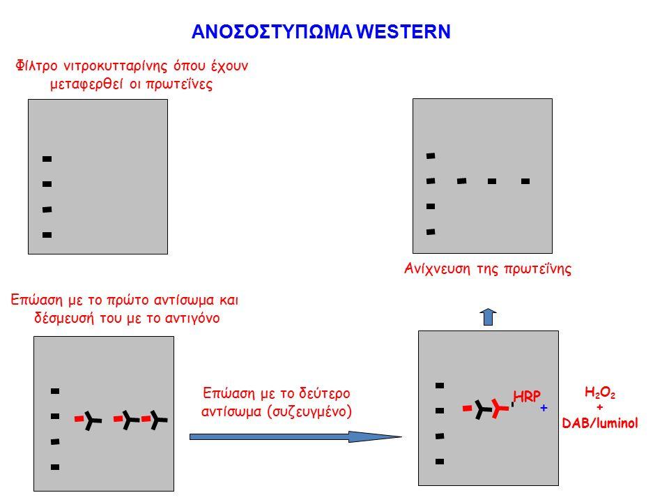 Επώαση με το πρώτο αντίσωμα και δέσμευσή του με το αντιγόνο Επώαση με το δεύτερο αντίσωμα (συζευγμένο) HRP H 2 O 2 + DAB/luminol + Ανίχνευση της πρωτεΐνης Φίλτρο νιτροκυτταρίνης όπου έχουν μεταφερθεί οι πρωτεΐνες Επώαση με το πρώτο αντίσωμα και δέσμευσή του με το αντιγόνο ΑΝΟΣΟΣΤΥΠΩΜΑ WESTERN