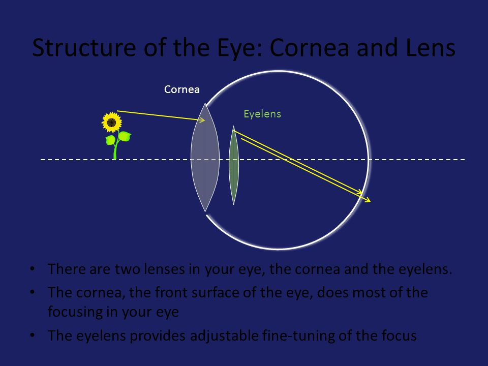 Structure of the Eye: Cornea and Lens Cornea There are two lenses in your eye, the cornea and the eyelens.