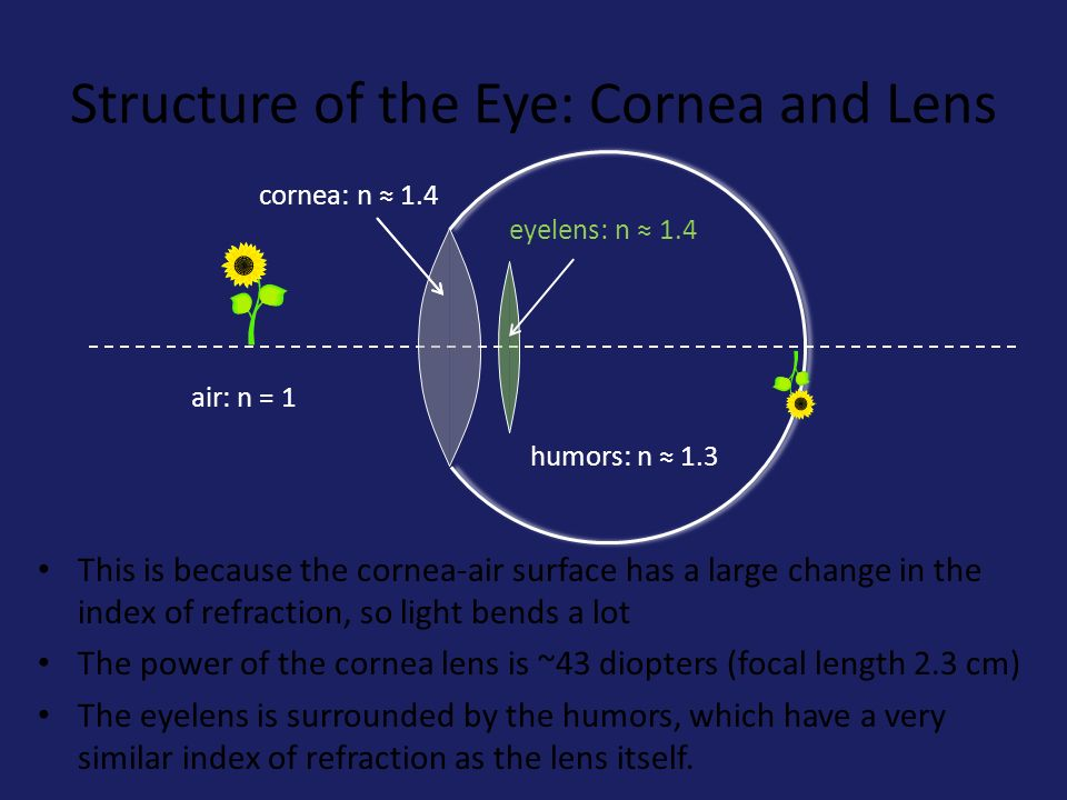 The Eyelens: Accommodation The eyelens changes its focal length by changing its shape.