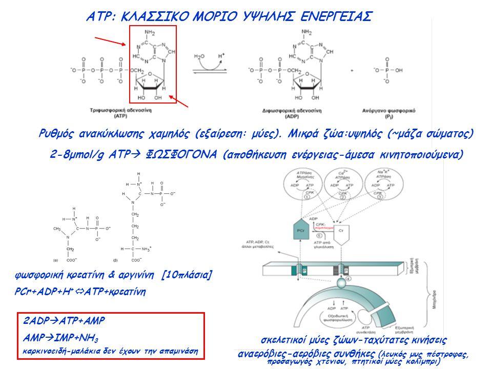 ATP: ΚΛΑΣΣΙΚΟ ΜΟΡΙΟ ΥΨΗΛΗΣ ΕΝΕΡΓΕΙΑΣ Ρυθμός ανακύκλωσης χαμηλός (εξαίρεση: μύες).