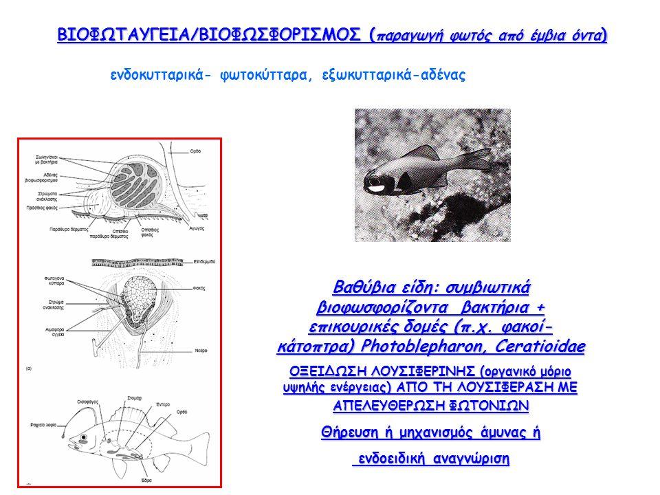 ΒΙΟΦΩΤΑΥΓΕΙΑ/ΒΙΟΦΩΣΦΟΡΙΣΜΟΣ ( παραγωγή φωτός από έμβια όντα ) Βαθύβια είδη: συμβιωτικά βιοφωσφορίζοντα βακτήρια + επικουρικές δομές (π.χ.