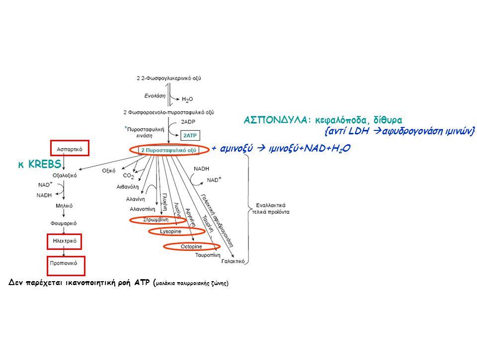 {αντί LDH  αφυδρογονάση ιμινών} + αμινοξύ  ιμινοξύ+NAD+H 2 O ΑΣΠΟΝΔΥΛΑ: κεφαλόποδα, δίθυρα κ ΚREBS Δεν παρέχεται ικανοποιητική ροή ATP ( μαλάκια παλιρροιακής ζώνης)