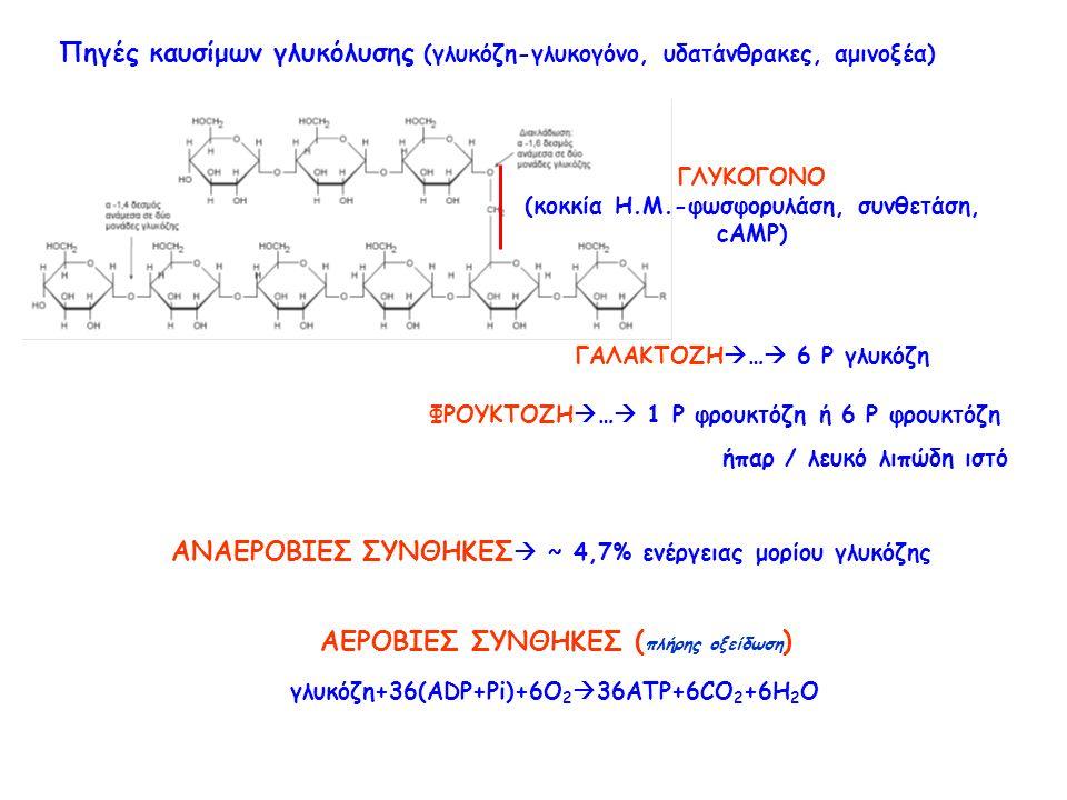 Πηγές καυσίμων γλυκόλυσης (γλυκόζη-γλυκογόνο, υδατάνθρακες, αμινοξέα) ΓΛΥΚΟΓΟΝΟ (κοκκία Η.Μ.-φωσφορυλάση, συνθετάση, cAMP) ΓΑΛΑΚΤΟΖΗ  …  6 P γλυκόζη ΦΡΟΥΚΤΟΖΗ  …  1 P φρουκτόζη ή 6 P φρουκτόζη ήπαρ / λευκό λιπώδη ιστό ΑΝΑΕΡΟΒΙΕΣ ΣΥΝΘΗΚΕΣ  ~ 4,7% ενέργειας μορίου γλυκόζης ΑΕΡΟΒΙΕΣ ΣΥΝΘΗΚΕΣ ( πλήρης οξείδωση ) γλυκόζη+36(ADP+Pi)+6O 2  36ATP+6CO 2 +6H 2 O