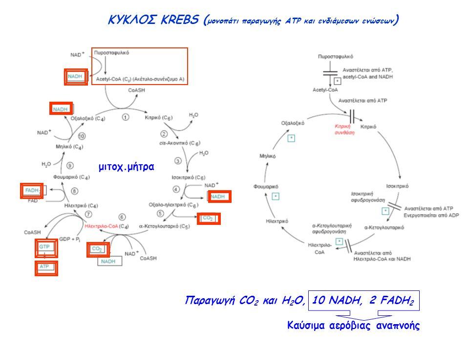 ΚΥΚΛΟΣ KREBS ( μονοπάτι παραγωγής ATP και ενδιάμεσων ενώσεων ) μιτοχ.μήτρα Παραγωγή CO 2 και H 2 O, 10 NADH, 2 FADH 2 Καύσιμα αερόβιας αναπνοής