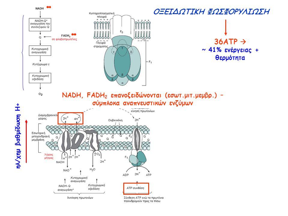 NADH, FADH 2 επανοξειδώνονται (εσωτ.μιτ.μεμβρ.) – σύμπλοκα αναπνευστικών ενζύμων ΟΞΕΙΔΩΤΙΚΗ ΦΩΣΦΟΡΥΛΙΩΣΗ ηλ/χημ βαθμίδωση Η+ 36ATP  ~ 41% ενέργειας + θερμότητα