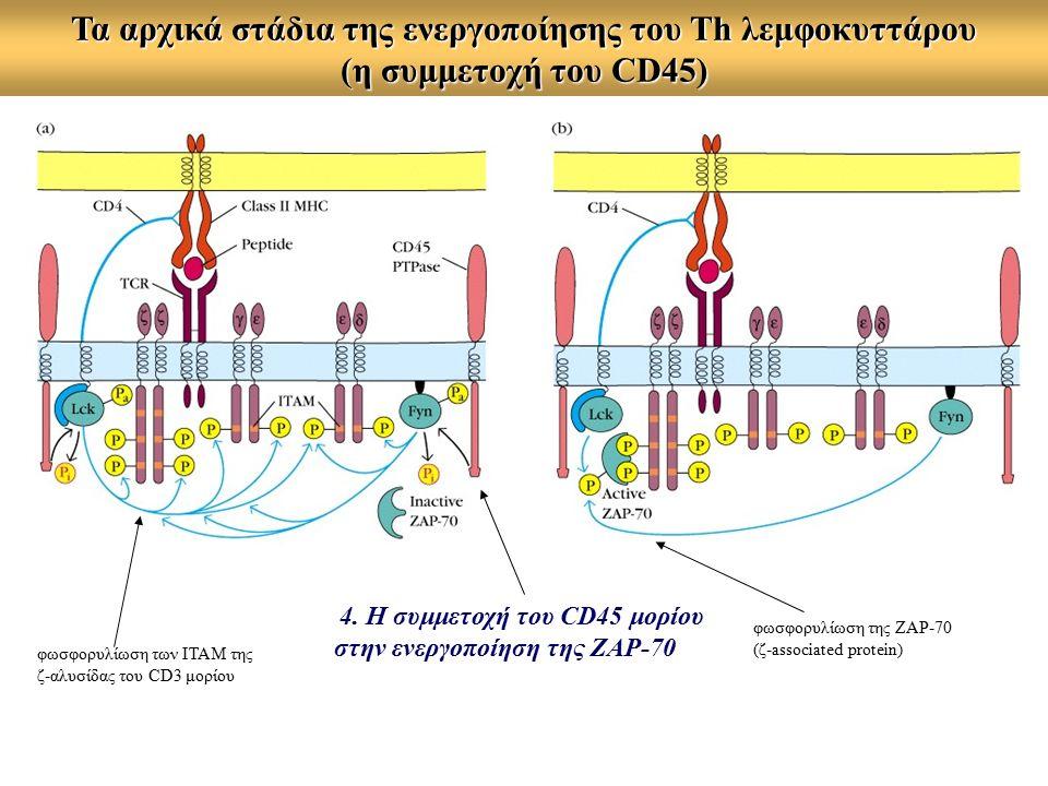 Τα αρχικά στάδια της ενεργοποίησης του Τh λεμφοκυττάρου (η συμμετοχή του CD45) φωσφορυλίωση των ITAM της ζ-αλυσίδας του CD3 μορίου 4.