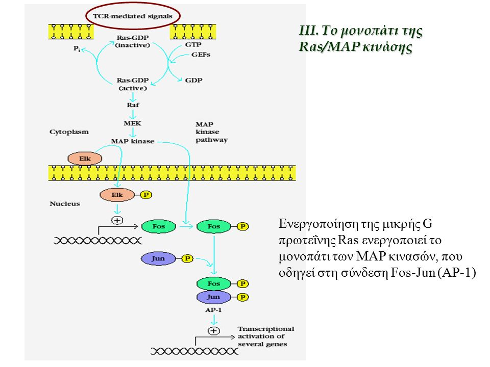Ενεργοποίηση της μικρής G πρωτεΐνης Ras ενεργοποιεί το μονοπάτι των MAP κινασών, που οδηγεί στη σύνδεση Fos-Jun (AP-1) III. To μονοπάτι της Ras/MAP κι