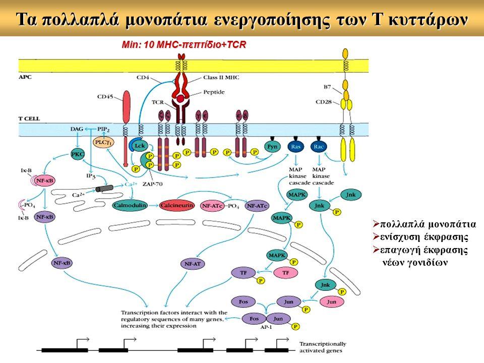 Τα πολλαπλά μονοπάτια ενεργοποίησης των Τ κυττάρων  πολλαπλά μονοπάτια  ενίσχυση έκφρασης  επαγωγή έκφρασης νέων γονιδίων Min: 10 MHC-πεπτίδιο+TCR