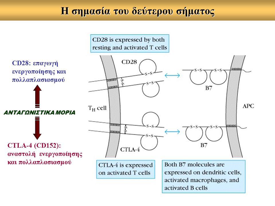 Η σημασία του δεύτερου σήματος CD28: επαγωγή ενεργοποίησης και πολλαπλασιασμού CTLA-4 (CD152): αναστολή ενεργοποίησης και πολλαπλασιασμού ΑΝΤΑΓΩΝΙΣΤΙΚΑ ΜΟΡΙΑ