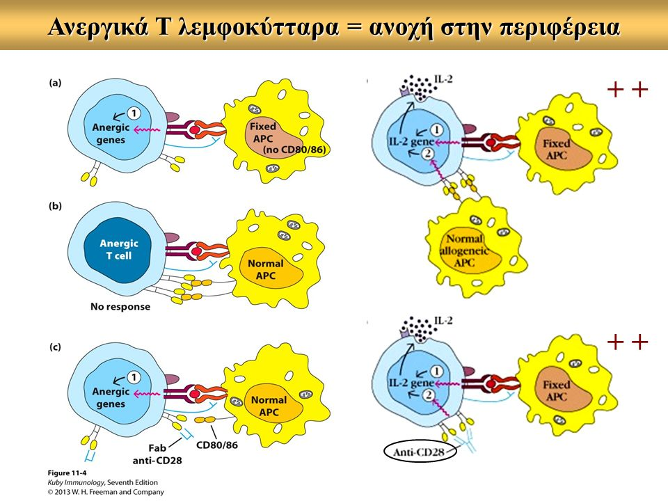 Ανεργικά Τ λεμφοκύτταρα = ανοχή στην περιφέρεια +