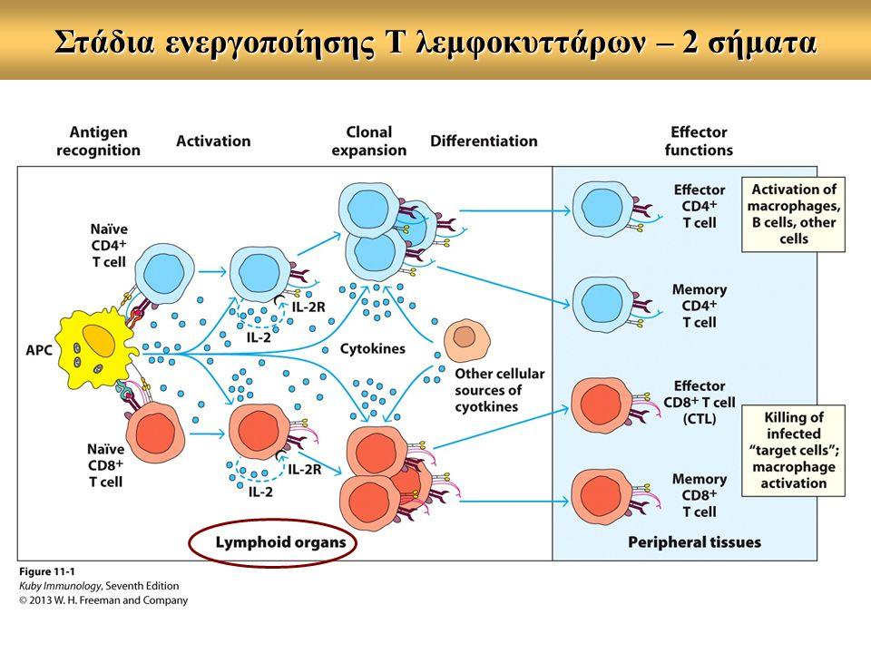 Διαφοροποίηση των Τ κυττάρων  Δύο κύριοι υποπληθυσμοί:  βοηθητικά (CD4+, Th)  κυτταροτοξικά (CD8+, Tc) + κατασταλτικά/ρυθμιστικά (CD4+, Ts/Tregs)  Ο κάθε υποπληθυσμός διακρίνεται σε :  παρθένα Τ κύτταρα (naive)  δραστικά Τ κύτταρα (effectors)  Τ κύτταρα μνήμης (memory)