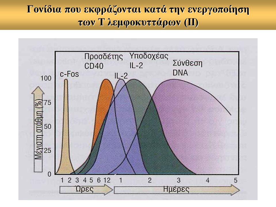 Τα αρχικά στάδια της ενεργοποίησης του Τh λεμφοκυττάρου 1.