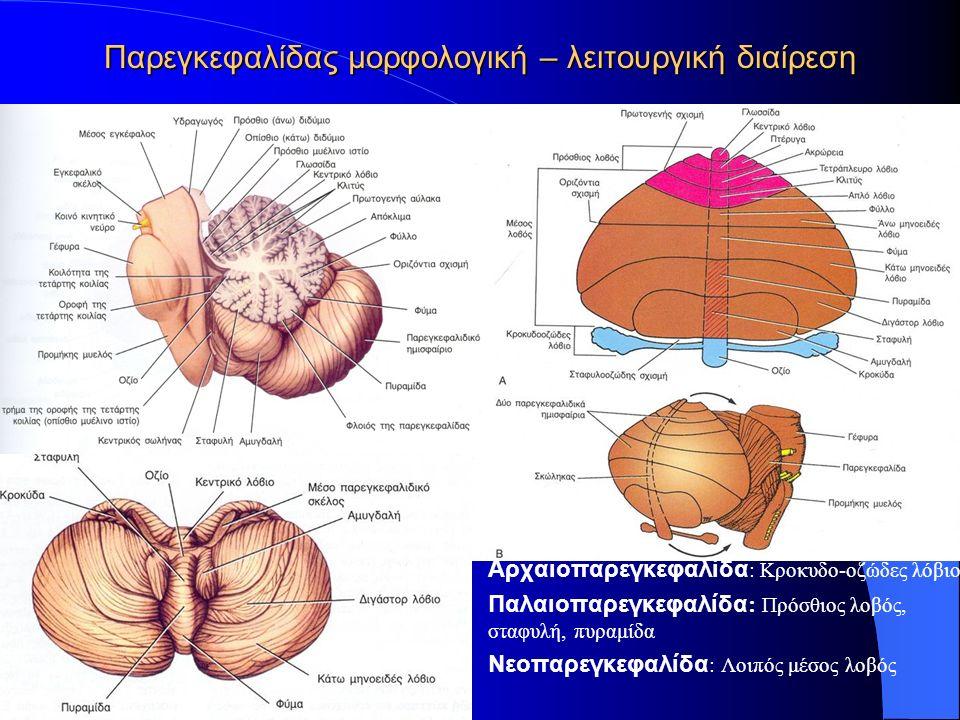Παρεγκεφαλίδας μορφολογική – λειτουργική διαίρεση Αρχαιοπαρεγκεφαλίδα : Κροκυδο-οζώδες λόβιο Παλαιοπαρεγκεφαλίδα : Πρόσθιος λοβός, σταφυλή, πυραμίδα Νεοπαρεγκεφαλίδα : Λοιπός μέσος λοβός