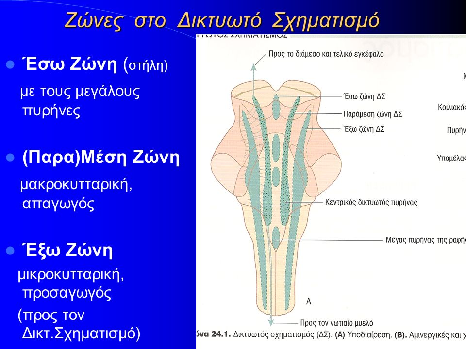 Ζώνες στο Δικτυωτό Σχηματισμό Έσω Ζώνη ( στήλη) με τους μεγάλους πυρήνες (Παρα)Μέση Ζώνη μακροκυτταρική, απαγωγός Έξω Ζώνη μικροκυτταρική, προσαγωγός (προς τον Δικτ.Σχηματισμό)