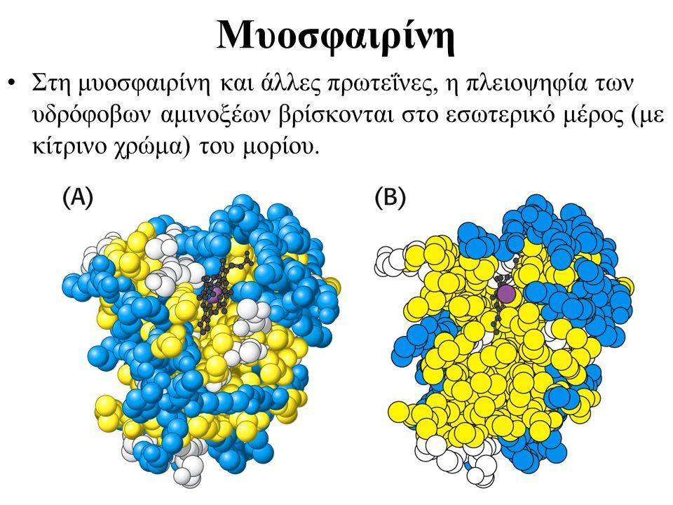 Μυοσφαιρίνη Στη μυοσφαιρίνη και άλλες πρωτεΐνες, η πλειοψηφία των υδρόφοβων αμινοξέων βρίσκονται στο εσωτερικό μέρος (με κίτρινο χρώμα) του μορίου.