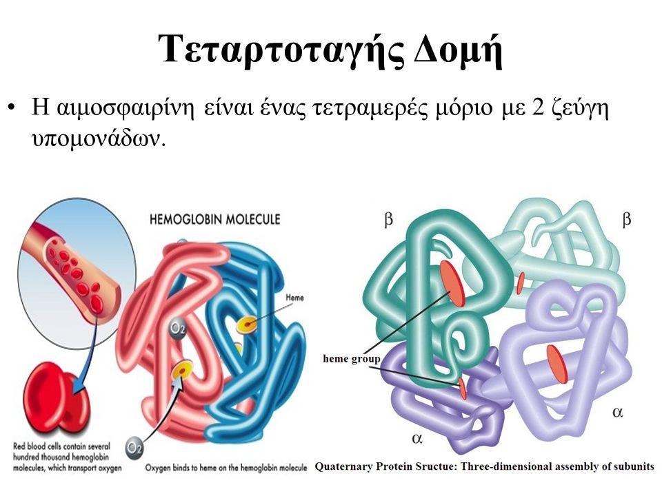 Τεταρτοταγής Δομή Η αιμοσφαιρίνη είναι ένας τετραμερές μόριο με 2 ζεύγη υπομονάδων.