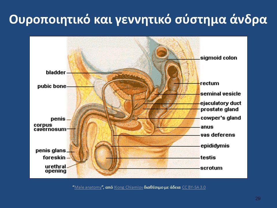 Ουροποιητικό και γεννητικό σύστημα άνδρα 29 Male anatomy , από Xiong Chiamiov διαθέσιμο με άδεια CC BY-SA 3.0Male anatomyXiong ChiamiovCC BY-SA 3.0