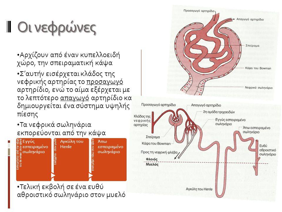 Αρχίζουν από έναν κυπελλοειδή χώρο, την σπειραματική κάψα Σ'αυτήν εισέρχεται κλάδος της νεφρικής αρτηρίας το προσαγωγό αρτηρίδιο, ενώ το αίμα εξέρχεται με το λεπτότερο απαγωγό αρτηρίδιο και δημιουργείται ένα σύστημα υψηλής πίεσης Τα νεφρικά σωληνάρια εκπορεύονται από την κάψα Τελική εκβολή σε ένα ευθύ αθροιστικό σωληνάριο στον μυελό Οι νεφρώνες