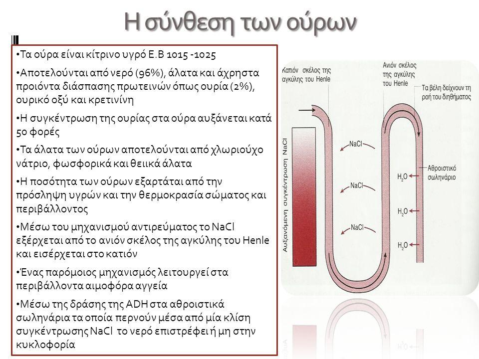 Η σύνθεση των ούρων Τα ούρα είναι κίτρινο υγρό Ε.Β 1015 -1025 Αποτελούνται από νερό (96%), άλατα και άχρηστα προιόντα διάσπασης πρωτεινών όπως ουρία (2%), ουρικό οξύ και κρετινίνη Η συγκέντρωση της ουρίας στα ούρα αυξάνεται κατά 50 φορές Τα άλατα των ούρων αποτελούνται από χλωριούχο νάτριο, φωσφορικά και θειικά άλατα Η ποσότητα των ούρων εξαρτάται από την πρόσληψη υγρών και την θερμοκρασία σώματος και περιβάλλοντος Μέσω του μηχανισμού αντιρεύματος το NaCl εξέρχεται από το ανιόν σκέλος της αγκύλης του Henle και εισέρχεται στο κατιόν Ένας παρόμοιος μηχανισμός λειτουργεί στα περιβάλλοντα αιμοφόρα αγγεία Μέσω της δράσης της ADH στα αθροιστικά σωληνάρια τα οποία περνούν μέσα από μία κλίση συγκέντρωσης NaCl το νερό επιστρέφει ή μη στην κυκλοφορία
