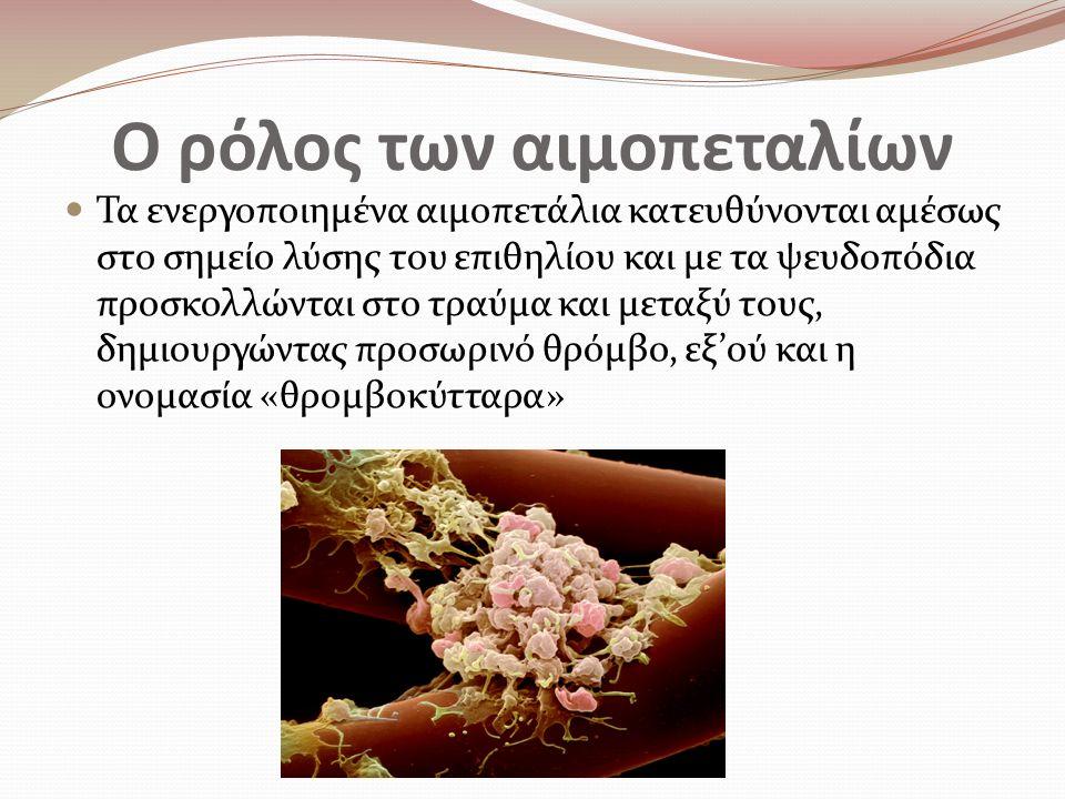 Ο ρόλος των αιμοπεταλίων Τα ενεργοποιημένα αιμοπετάλια κατευθύνονται αμέσως στο σημείο λύσης του επιθηλίου και με τα ψευδοπόδια προσκολλώνται στο τραύμα και μεταξύ τους, δημιουργώντας προσωρινό θρόμβο, εξ'ού και η ονομασία «θρομβοκύτταρα»