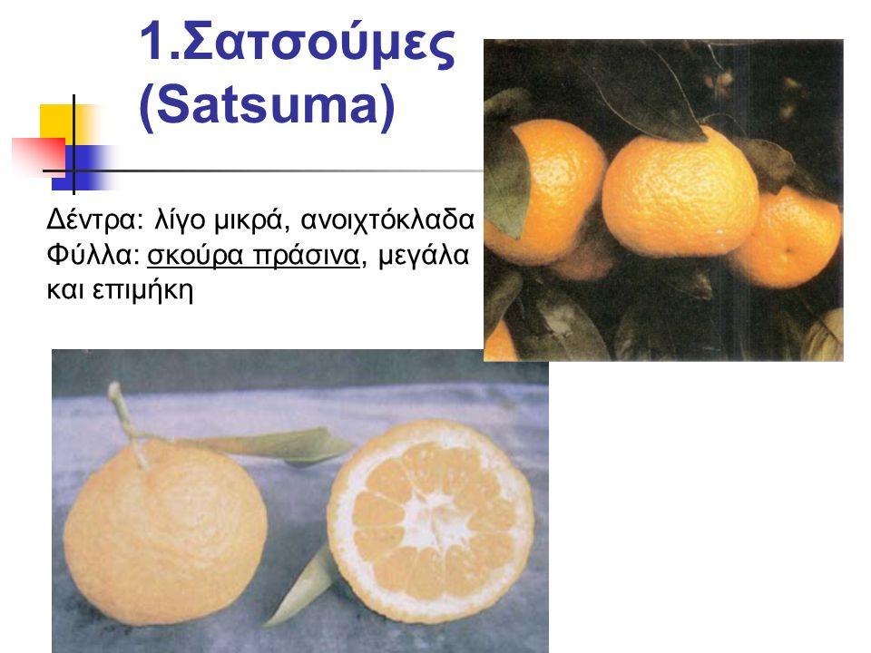 1.Σατσούμες (Satsuma) Δέντρα: λίγο μικρά, ανοιχτόκλαδα Φύλλα: σκούρα πράσινα, μεγάλα και επιμήκη