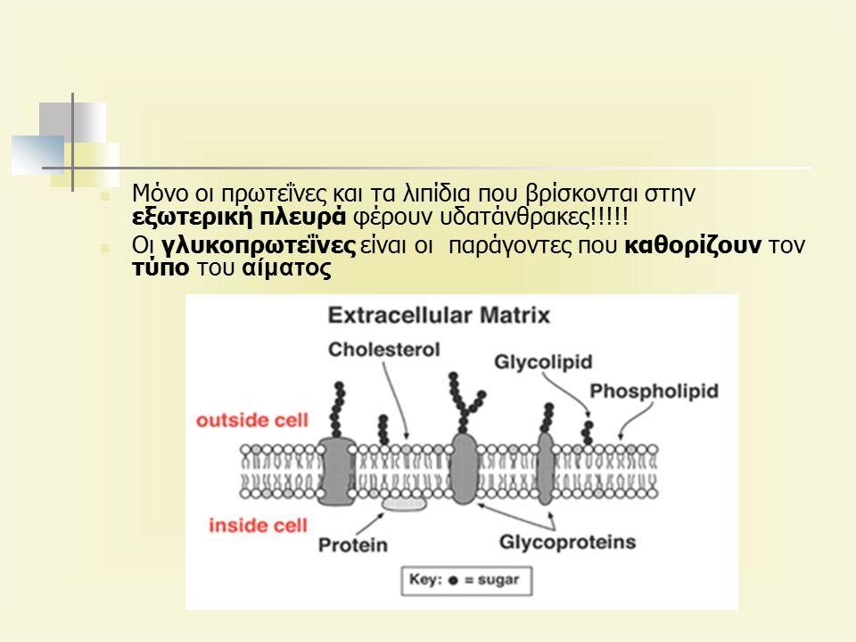 Μόνο οι πρωτεΐνες και τα λιπίδια που βρίσκονται στην εξωτερική πλευρά φέρουν υδατάνθρακες!!!!.