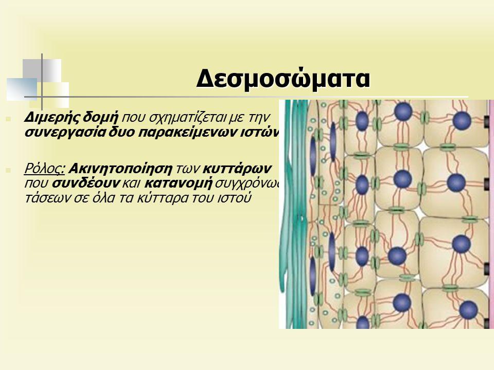 Δεσμοσώματα Διμερής δομή που σχηματίζεται με την συνεργασία δυο παρακείμενων ιστών Ρόλος: Ακινητοποίηση των κυττάρων που συνδέουν και κατανομή συγχρόνως τάσεων σε όλα τα κύτταρα του ιστού