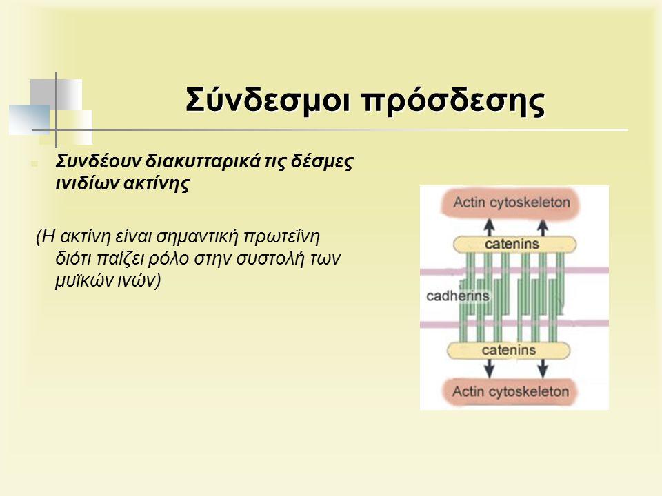 Σύνδεσμοι πρόσδεσης Συνδέουν διακυτταρικά τις δέσμες ινιδίων ακτίνης (Η ακτίνη είναι σημαντική πρωτεΐνη διότι παίζει ρόλο στην συστολή των μυϊκών ινών)