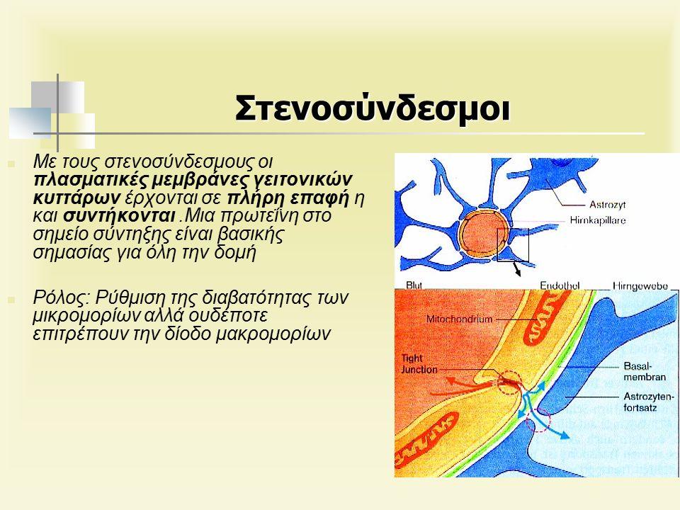 Στενοσύνδεσμοι Με τους στενοσύνδεσμους οι πλασματικές μεμβράνες γειτονικών κυττάρων έρχονται σε πλήρη επαφή η και συντήκονται.Μια πρωτεΐνη στο σημείο σύντηξης είναι βασικής σημασίας για όλη την δομή Ρόλος: Ρύθμιση της διαβατότητας των μικρομορίων αλλά ουδέποτε επιτρέπουν την δίοδο μακρομορίων